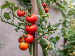 Quel tuteur pour tomate Hauteur, type, matériaux etc