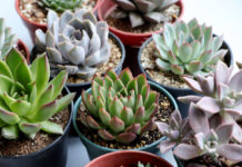 Tout savoir sur l'echeveria variétés, entretien, plantation