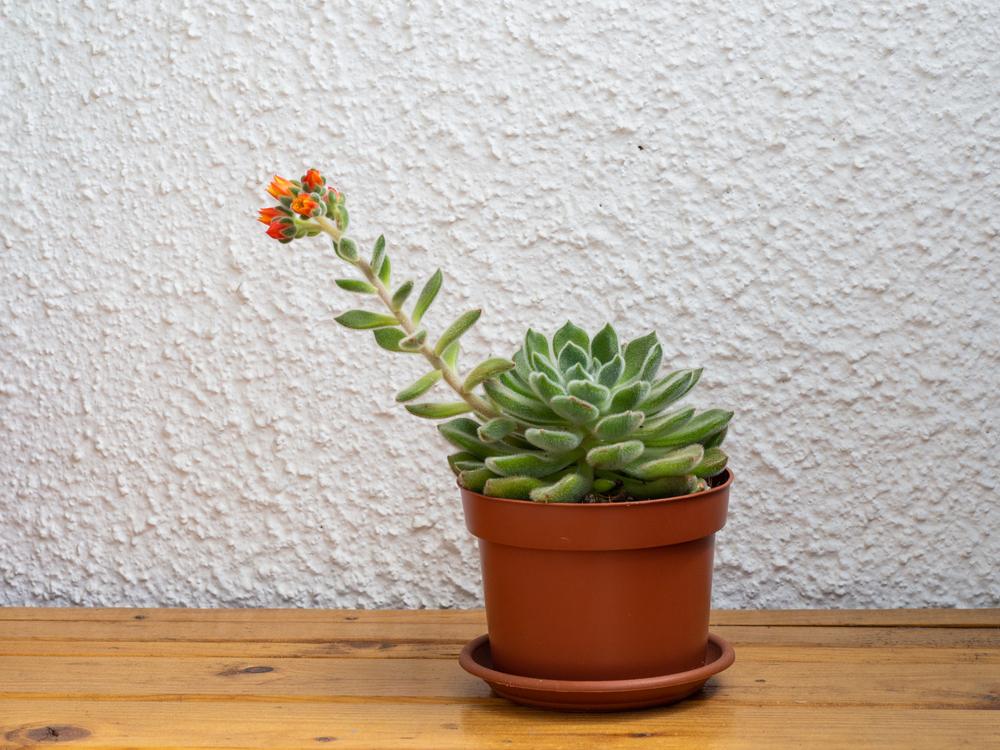 culture Echeveria plante