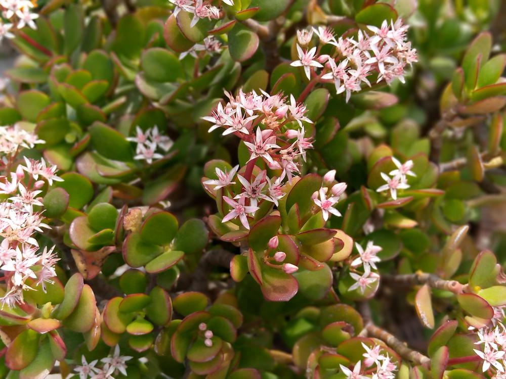 plante grasse crassula ovata