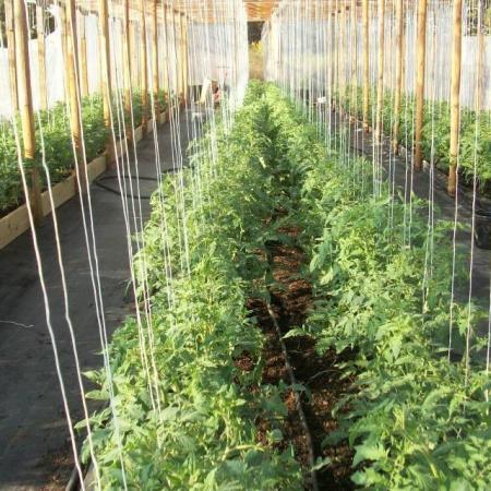 tuteur tomates en serre