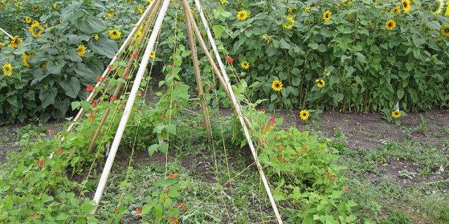 tuteurs tomates en tipi