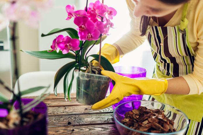 Faire refleurir une orchidée en 6 astuces