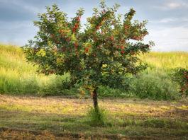 Quelle taille pour le cerisier