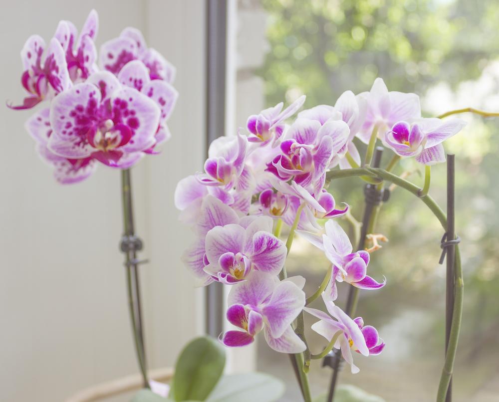 faire refleurir orchidée
