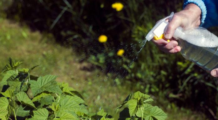anti pucerons naturel