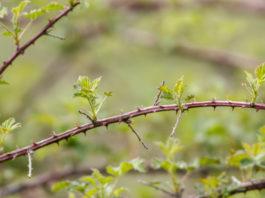 6 astuces pour supprimer les ronces naturellement