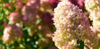 Tout savoir sur la plantation et la culture de l'hortensia