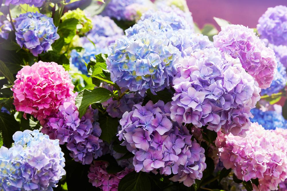 planter hortensia