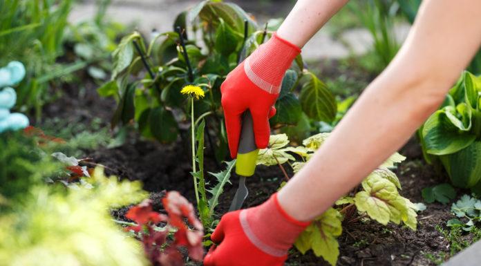 8 manières de se débarrasser des pissenlits naturellement