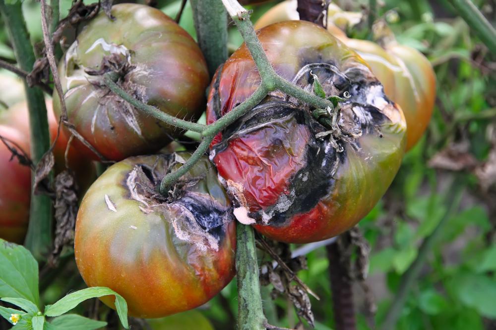 mildiou des tomates que faire