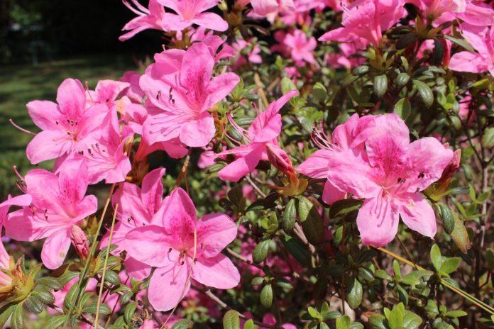 Comment bouturer le laurier rose